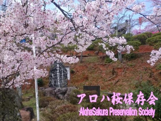 ハワイ日系二世兵士達の想いを継ぐ。アロハ桜を舞鶴で植樹したい