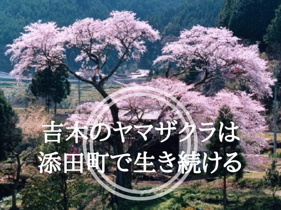 300年春を告げた吉木のヤマザクラ。添田町復興のシンボルに!