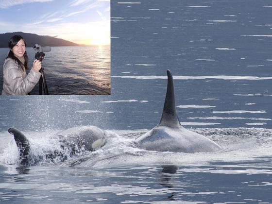 カナダ・ハンソン島で野生シャチの鳴き声の分析を続けたい!