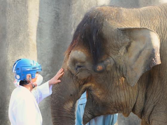 福山市立動物園の結核にかかったゾウ「ふくちゃん」を救いたい!