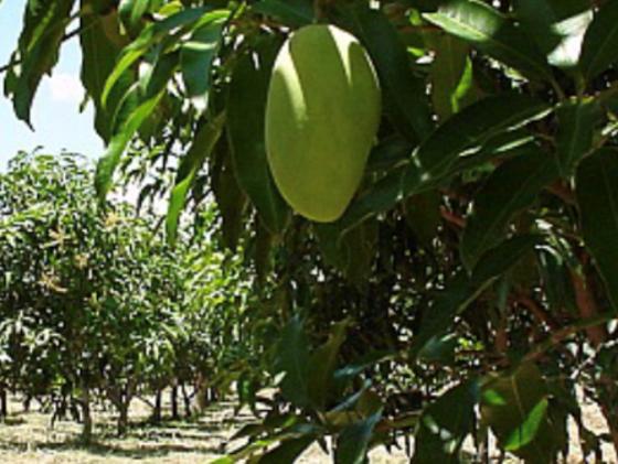 絶品フィリピンマンゴーを日本へ!現地の雇用を増やしたい!