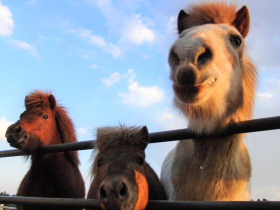 ポニー3頭の一口馬主になって、南相馬にポニー牧場を創ろう!