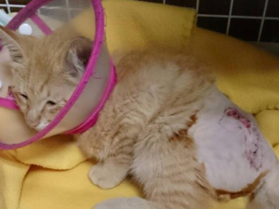 排尿困難の猫『しじみ』を保護し治療するマイさんを支援したい!