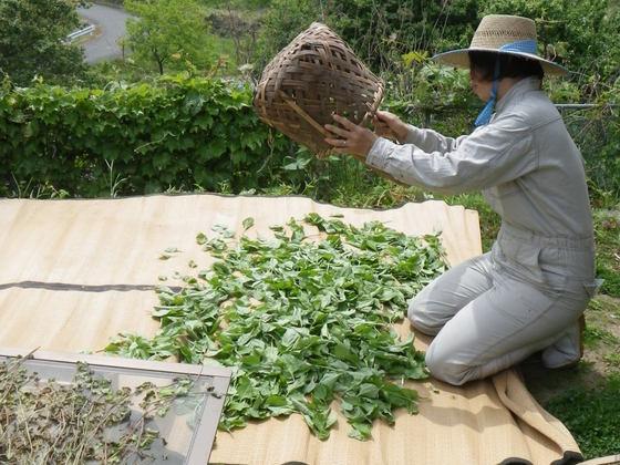 里山に自生する野生植物で地域医療に貢献したい!