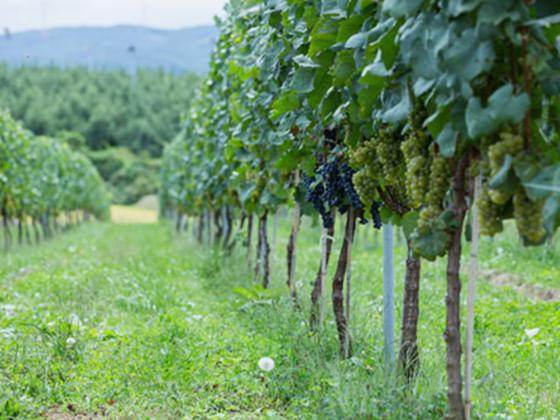 いつかこの地にワイナリー。立科町のブドウ畑を拡大したい。