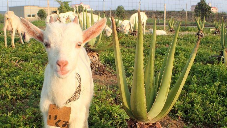 宮古島のアロエ畑とヤギ。しろう農園ふれあい牧場リニューアル!