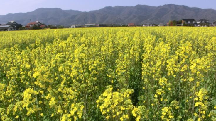 農家とつくる安心安全な圧搾一番搾り純系菜種油をこれからも