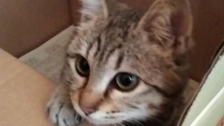 下半身不随で排便困難な保護猫コハルさんに、結腸摘出手術を。