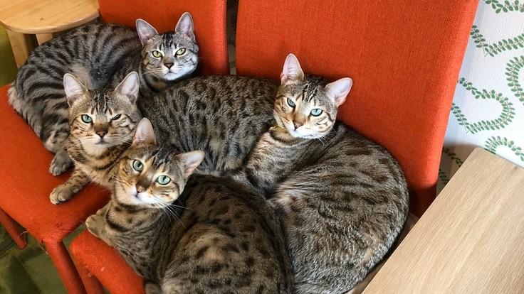 新型コロナで猫ちゃん達があぶない。熊本の猫カフェにご支援を!