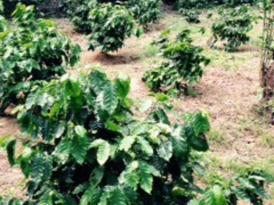 沖縄の耕作放棄地をオーナー制のコーヒー農園にしたい!