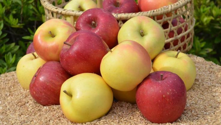 無肥料・減農薬・樹上完熟のもひかん林檎をお届けしたい!