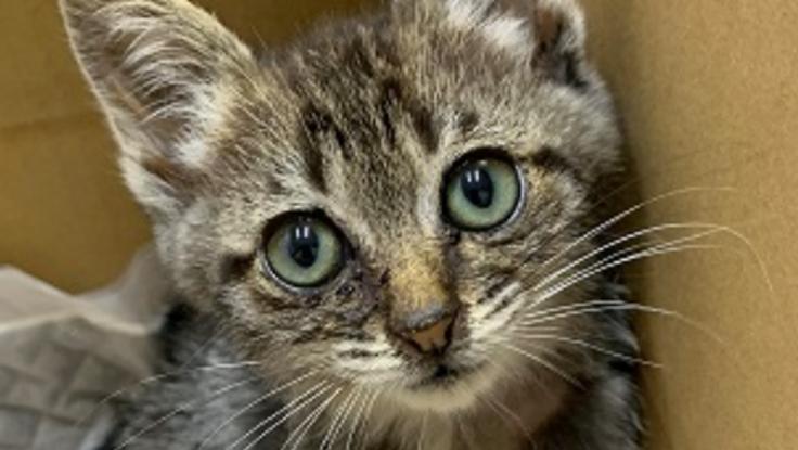 交通事故で右後脚骨折の保護猫の手術費用ご支援ください!