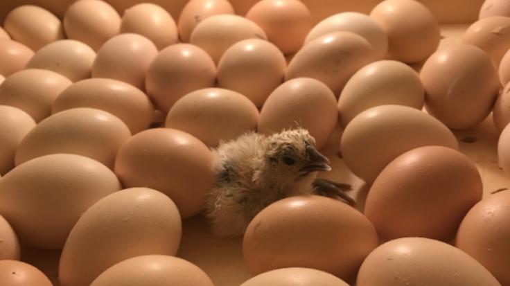 岐阜県から!「純粋種烏骨鶏」を後世に残し稀少な卵を届たい!