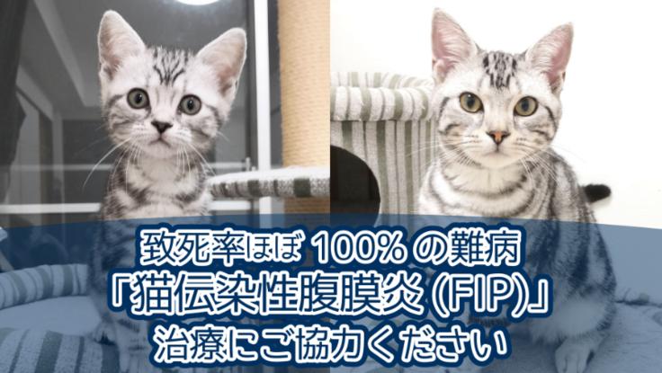 猫伝染性腹膜炎(FIP)治療費のご支援ご協力をお願いします。