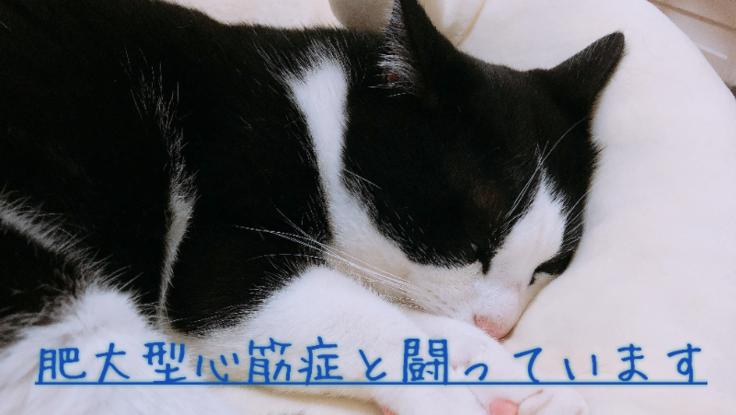 肥大型心筋症と戦う4歳の愛猫ぱんちゃんを助けてください