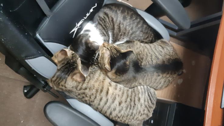 粉砕骨折した保護猫(とら吉)の手術代、治療費をご支援下さい
