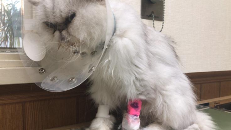 腎不全・尿毒症の母猫ララちゃんに治療費のご支援下さい。