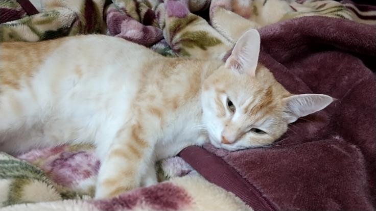猫免疫不全、伝染性腹膜炎を発症してるタロウをどうか助けて下さい。