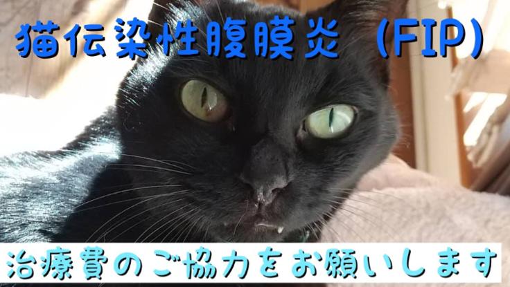 猫伝染性腹膜炎(FIP)の黒猫しっぽを助けてください!