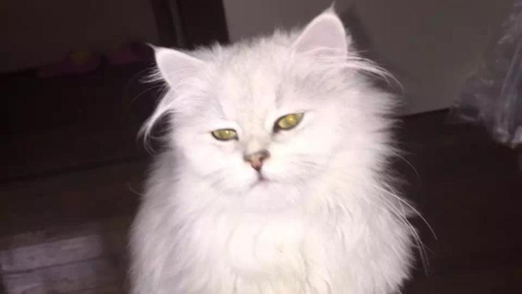 ナッティ(猫、ペルシャ、♀4歳)養育費