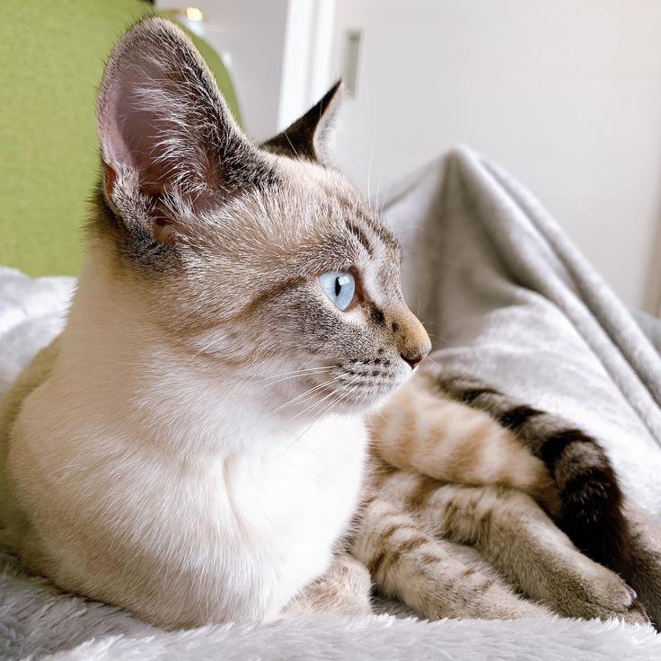 猫伝染性腹膜炎(FIP)投薬治療のためのご支援お願いします。