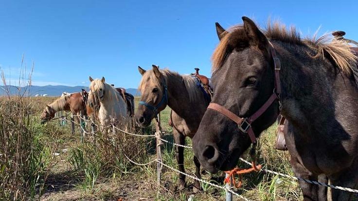 北海道の在来馬であるドサンコの保存活動を続けたい