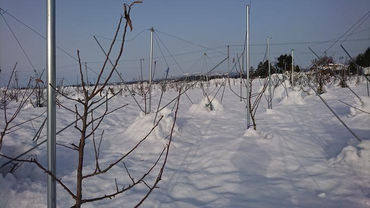 秋田県横手市産りんごを全国の皆さん食べていただきたい!