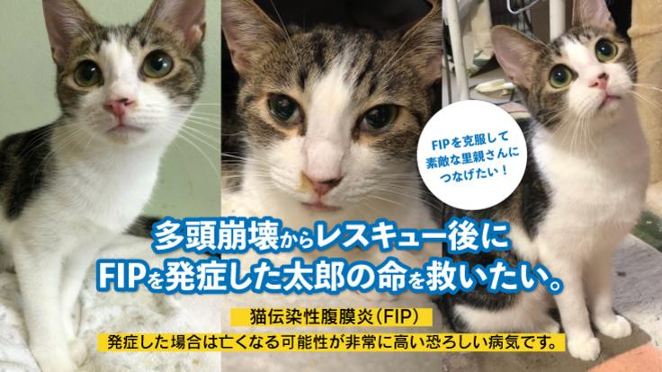 多頭飼育崩壊からレスキュー後にFIP発症した太郎の命を救いたい!!
