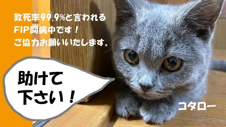 猫伝染性腹膜炎(FIP)を発症した子猫コタローをどうか助けて下さい
