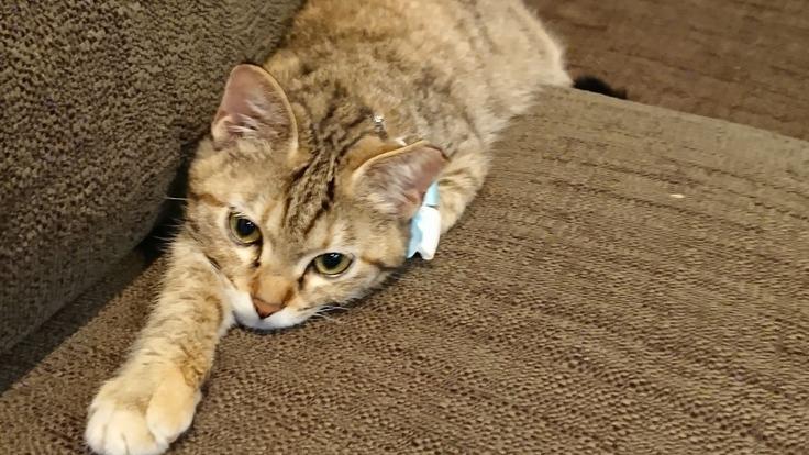 【致死率99%超】FIP(猫伝染性腹膜炎)治療のため助けてください