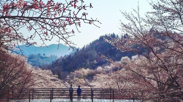 桜守-はなさかりゅうじい亡き後 陸郷の山桜を守りたい