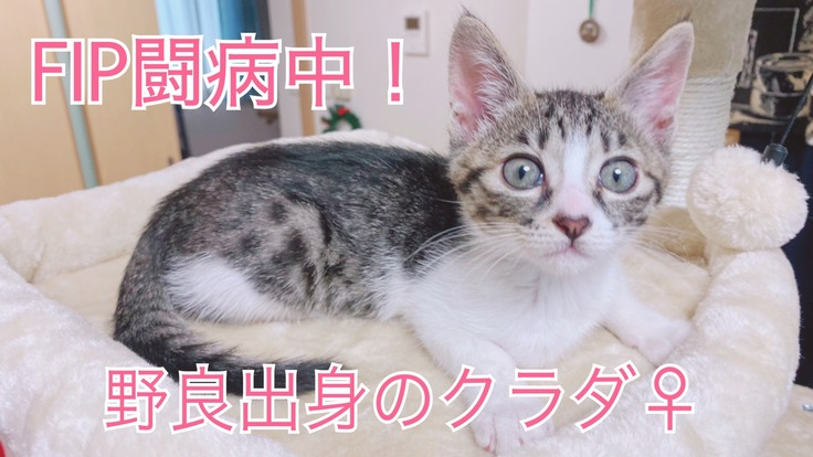 保護猫の猫伝染性腹膜炎(FIP)投薬治療を助けてください!