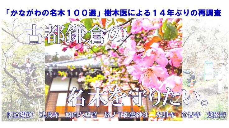 「かながわの名木100選」 鎌倉の名木6本を14年ぶり再調査!