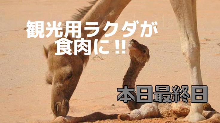 観光業に大打撃の砂漠の民と食肉用に売られるラクダ達を救いたい