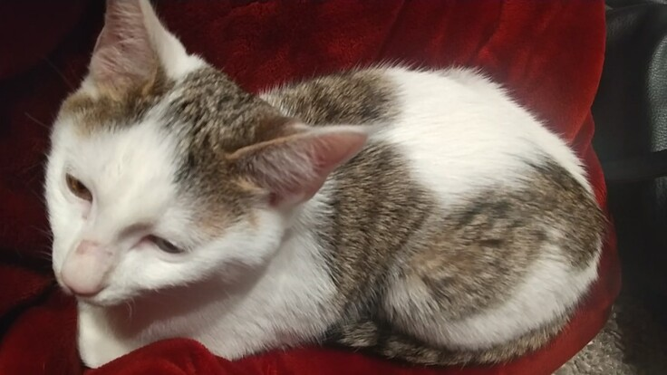 FIP(猫伝染性腹膜炎)に罹患した子猫の治療費支援をお願いします