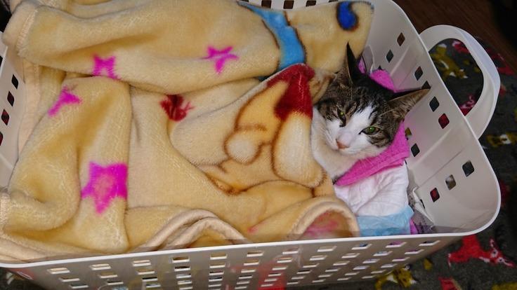 FIP(猫伝染性腹膜炎)の治療費のご支援ご協力お願いします。