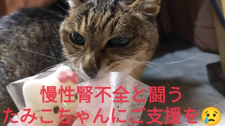 足を怪我した慢性腎不全の保護猫たみこちゃんにご支援をお願いします