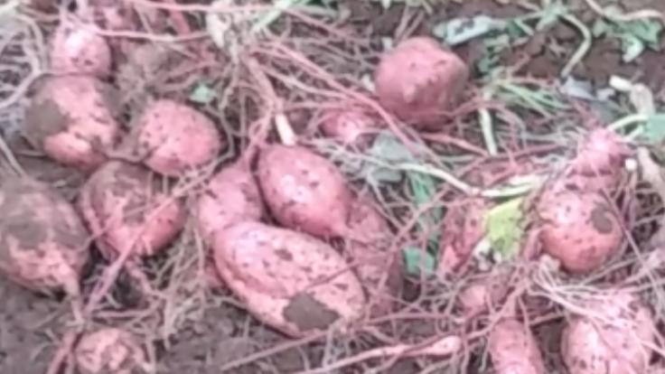 種子島産の安納芋栽培継承のためのトランスフォーメーション