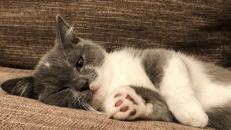 致死率の高い難病FIPを発症した子猫をどうか助けてください。