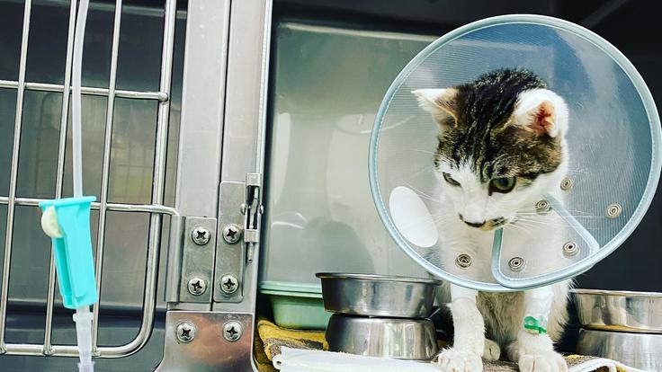 【3重苦】肺炎・腎臓奇形・貧血の猫に治療を続けたい
