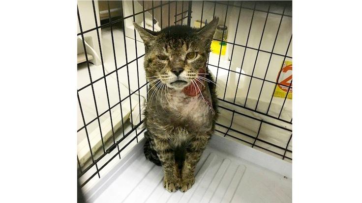 大怪我で2度の手術を受けたエイズキャリアの保護猫・金さんを助けたい
