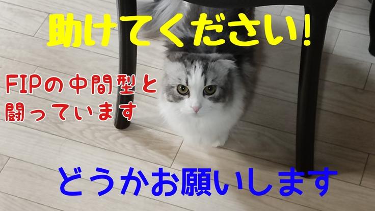 FIP(猫伝染性腹膜炎)を発症した猫をどうか助けてください