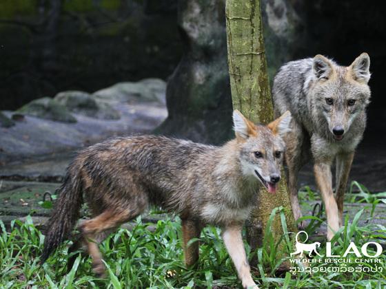 ラオスの動物園のジャッカル2頭が自由に暮らせる空間を森に!