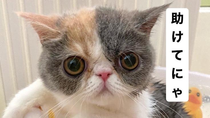 【小さい命を救いたい】難病FIPを発症した子猫お嬢を助けて下さい!