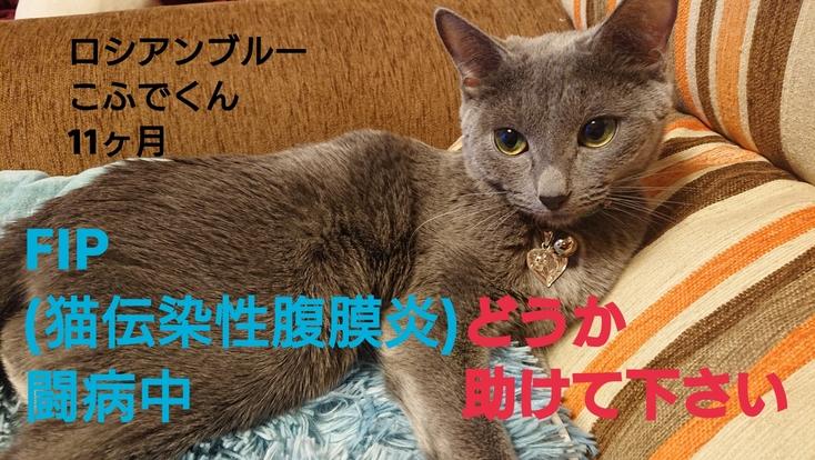 FIP(猫伝染性腹膜炎)を発症したこふでくんをどうか助けて下さい