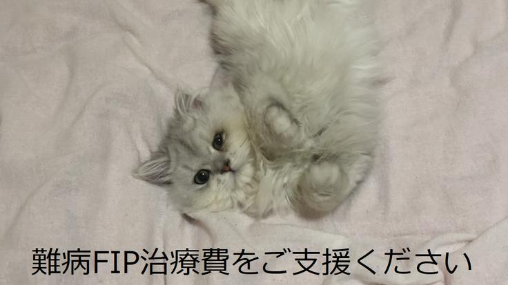 余命無き猫伝染性腹膜炎(FIP)緊急治療へのご支援お願い!
