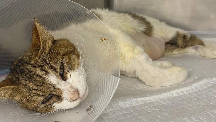 車にはねられ重症の地域猫を助けたい!治療費のご支援をお願いします!