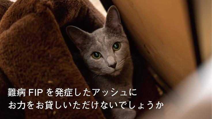 難病FIP(猫伝染性腹膜炎)を発症したアッシュを救いたい