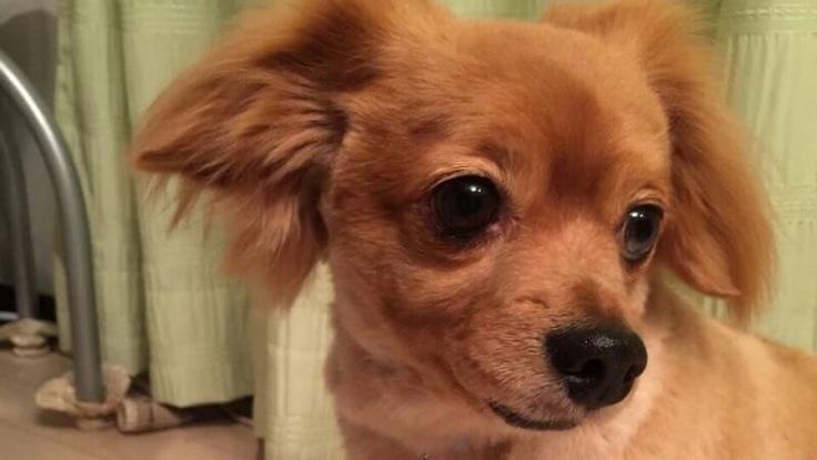 【僧帽弁閉鎖不全症、手術費用支援のお願い】愛犬シアを助けてください