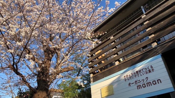樹齢60年の桜の命を救って、障害者の皆さんの心のよりどころにしたい